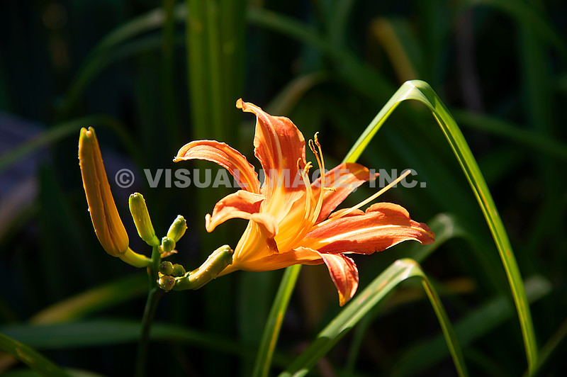 Tiger Lily - Stock