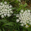 Queen Anne's Lace - Stock
