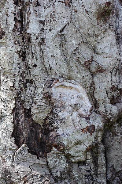 Ancient Tree - Stock