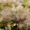 Fall Flowers on Nantucket, MA, Cape Cod.<br /> (c) Anna M. Croke/Visual Image, Inc.
