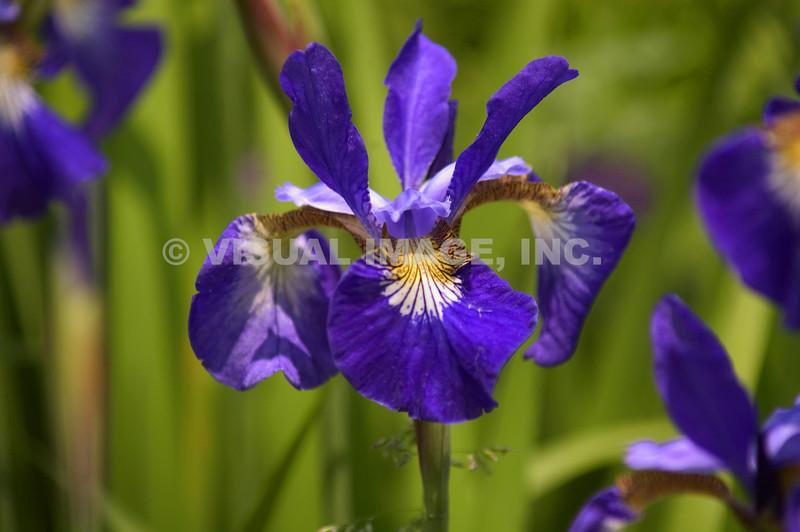 Pencil Iris