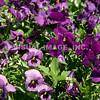 Violets - Stock