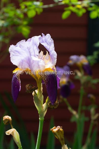 Iris - Stock
