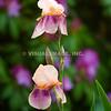 Iris, Dennis, MA, Cape Cod.<br /> (c) Tom Croke/Visual Image, Inc.