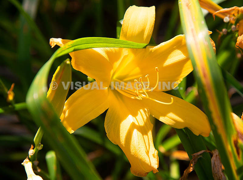 Yellow Day Lily - Stock
