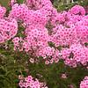 Pink Phlox - Stock