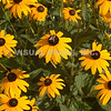 Black Eyed Susan - Stock