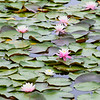 Water Lilies - Stock
