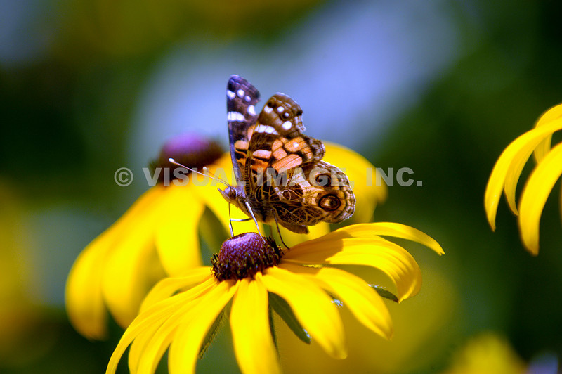 Butterfly/Black Eyed Susan.