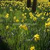 Daffodils - Stock