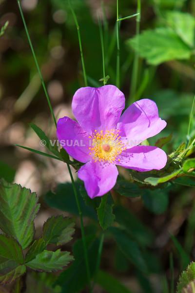 Wildflower - Threadleaf Sundew - Stock