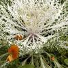Fall Flowers on Nantucket, MA, Cape Cod.<br /> (c) Anna M, Croke/Visual Image, Inc.