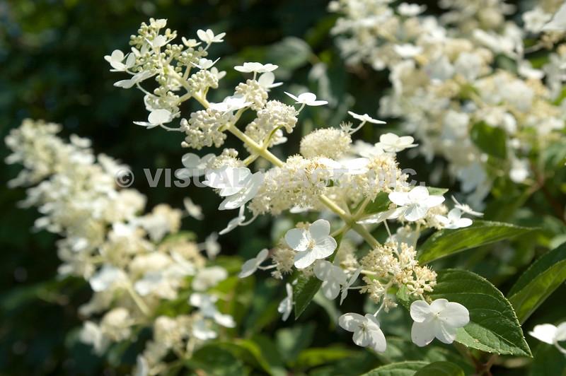 Flowering Tree - Stock