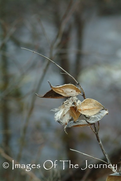 Milkweed in Winter