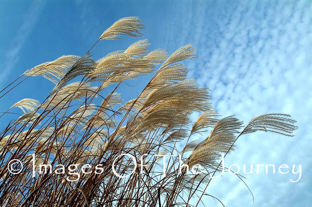 Airbrush<br /> Pampas Grass at Angel's Gate winery near Niagara Falls.