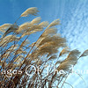 Airbrush<br /> Pampas Grass at Angel's Gate winery near Niagara Falls.