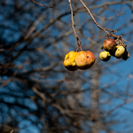 Late Fall Apples, Caledon