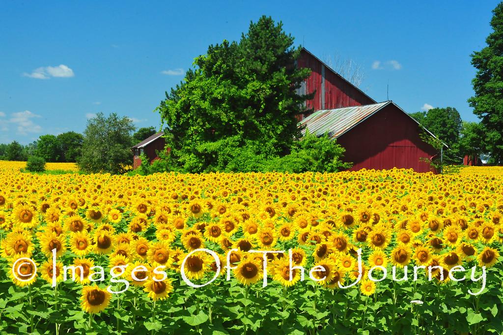 Sunflowers West of Toronto
