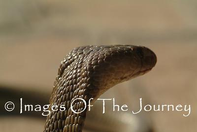 Cobra Stare