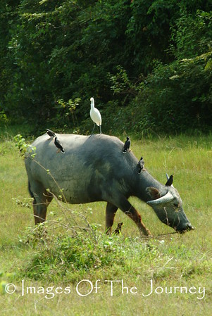 Hitchhiking on Water Buffalo