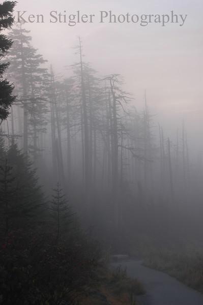 Misty Hemlocks in Gatlinburg, Tennessee
