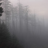 Misty Hemlocks in Gatlinburg, Tennessee