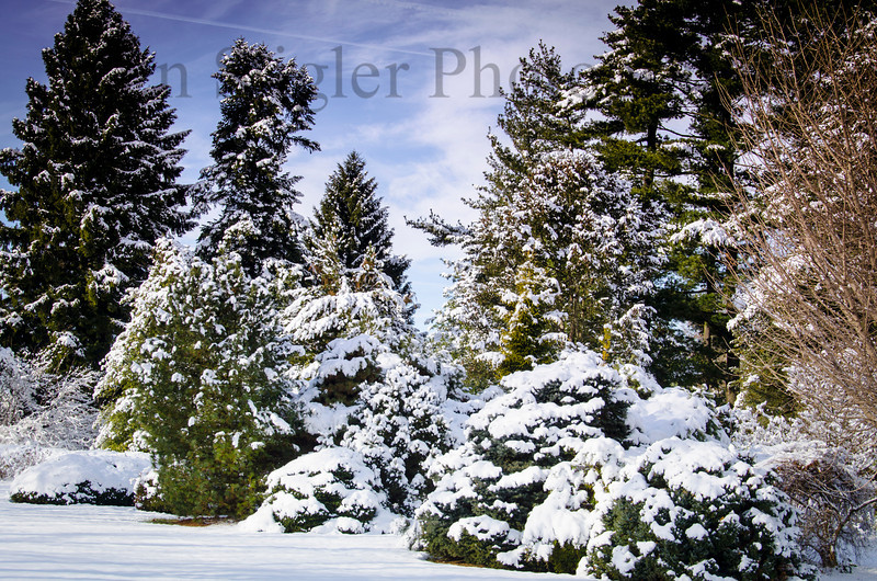 Snowy evergreens