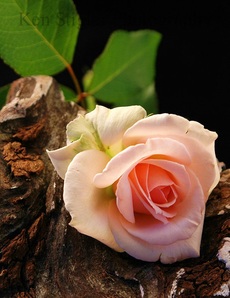 Pink rose on driftwood