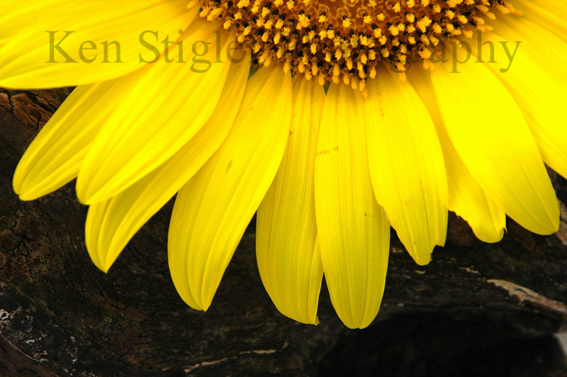 Sunflower on driftwood