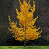Ginkgo tree, Spring Grove Cemetary, Cincinnati, Ohio