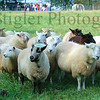 A very curious group of sheep at Turner Organic Farm in Indian Hills, outside of Cincinnati, ohio