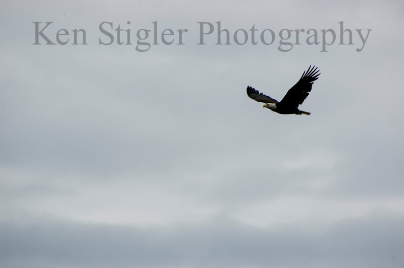 Bald Eagle flying off of the Sooke coast in the Strait of San Juan De Fuca