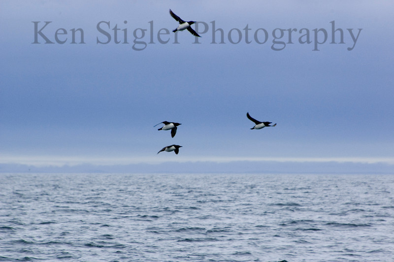 Common Murres.  These penguin-like little birds were flying next to us as we were heading out to search for humpbacks..