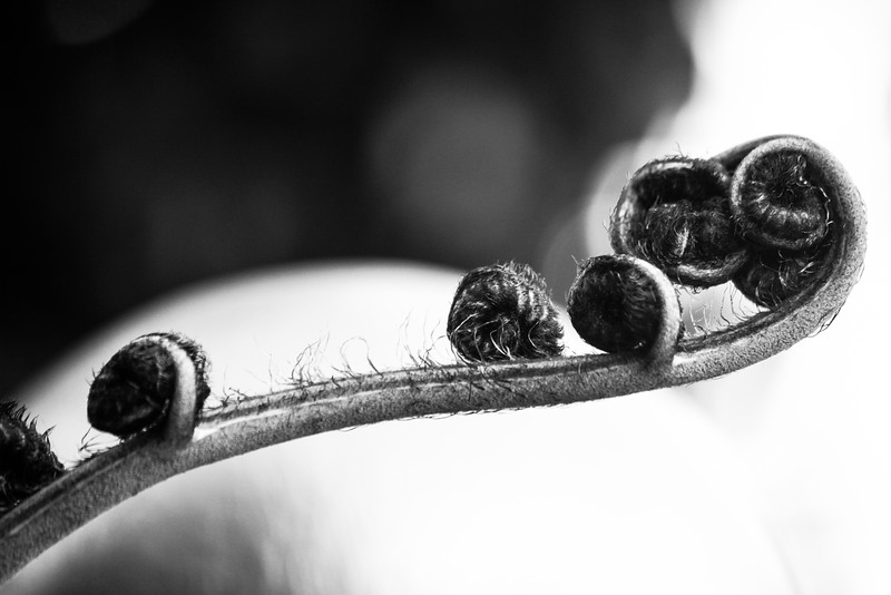Black and White Photo of Fern