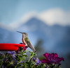 Female Broad-Tailed Hummingbird, CO
