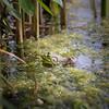 Bullfrog, Tully Lake, NY