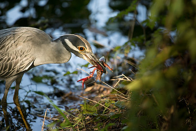 Yellow-Crowned Night-Heron with Crayfish