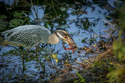 Yellow-Crowned Night-Heron 2, Brazos Bend, TX