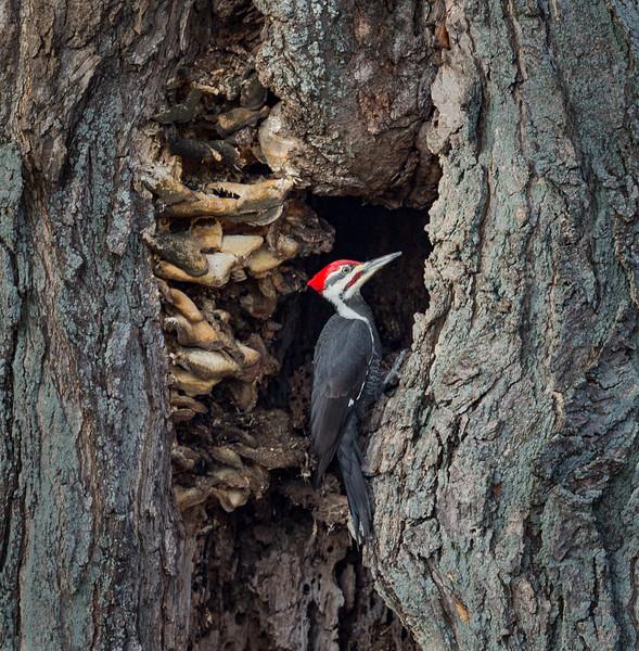 Pileated Woodpecker, Upstate NY