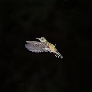 Female Broad-tailed hummingbird, CO