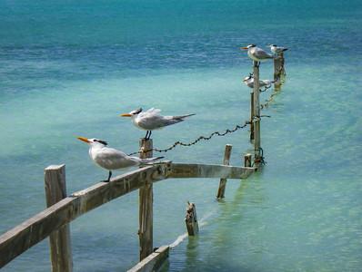 Seagulls, BVI
