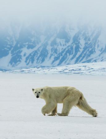 A skinny polar bear stalks the team on the floe edge near Bylot Island.