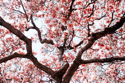 Magnolia symphonie