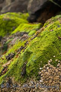 Seaweed covered rocks, at Edmonds Beach.