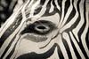 Zebra  Gaze
