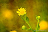 Golden Aster with texture