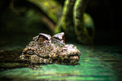 A caiman inspects it's surroundings above the water.