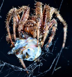 A spider wraps up a stinkbug.