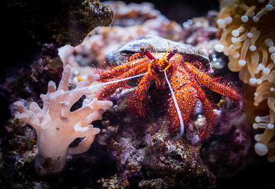 A close up of a hermit crab.