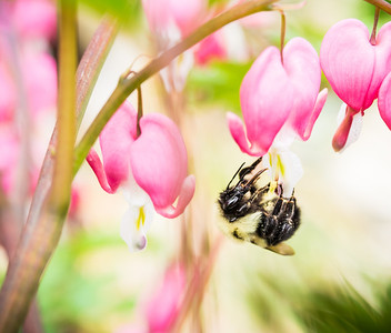 A bumble bee collects pollen from a Bleeding Heart.